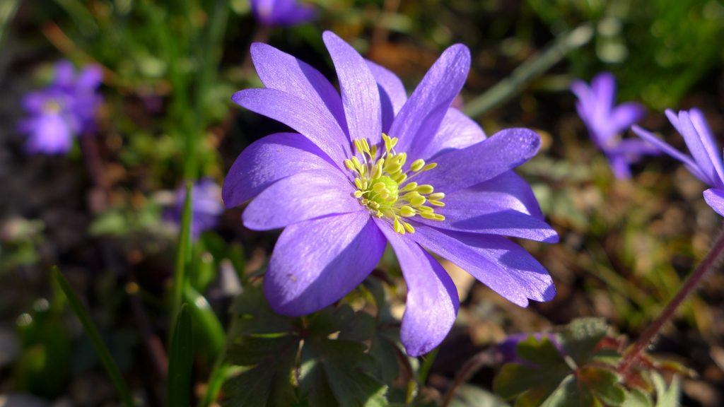 anemone-1328333_1920